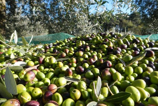 Olijventeelt in Leivi olijfolie